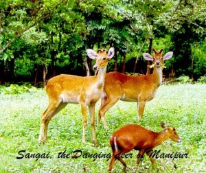 Sangai dancing deer of manipur  Todays current affairs 17 may 2016 exampariksha